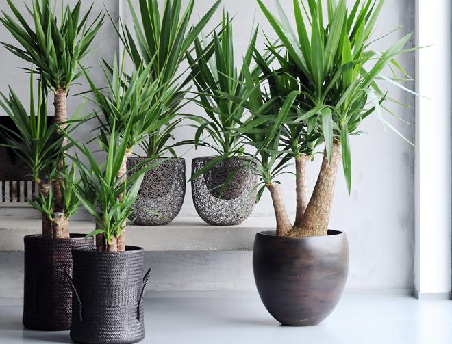 plante-yucca-pour-salle-a-manger