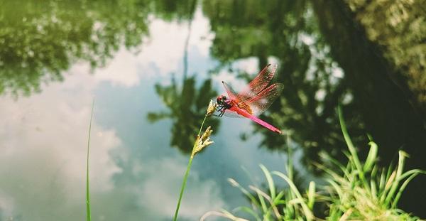 animaux-jardin-eau-libellule